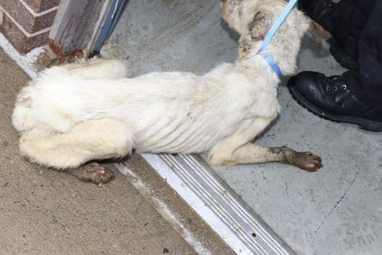 One of the 52 dogs turned over to Macomb County Animal Control on Feb. 13, 2019, after what officials believed was a hoarding situation at a home in Sterling Heights.