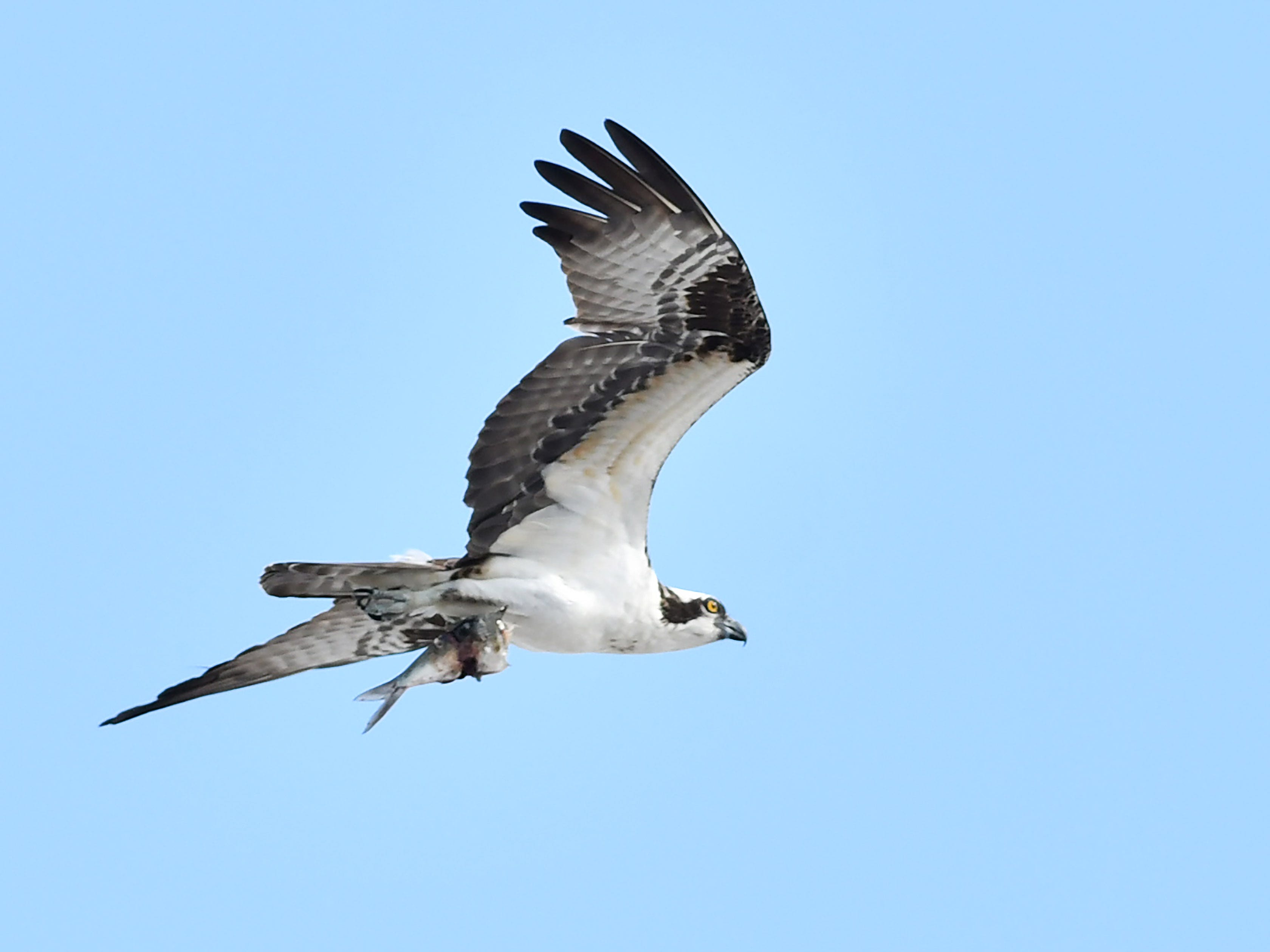 An osprey heads home with a fish dinner flying over the stadium.