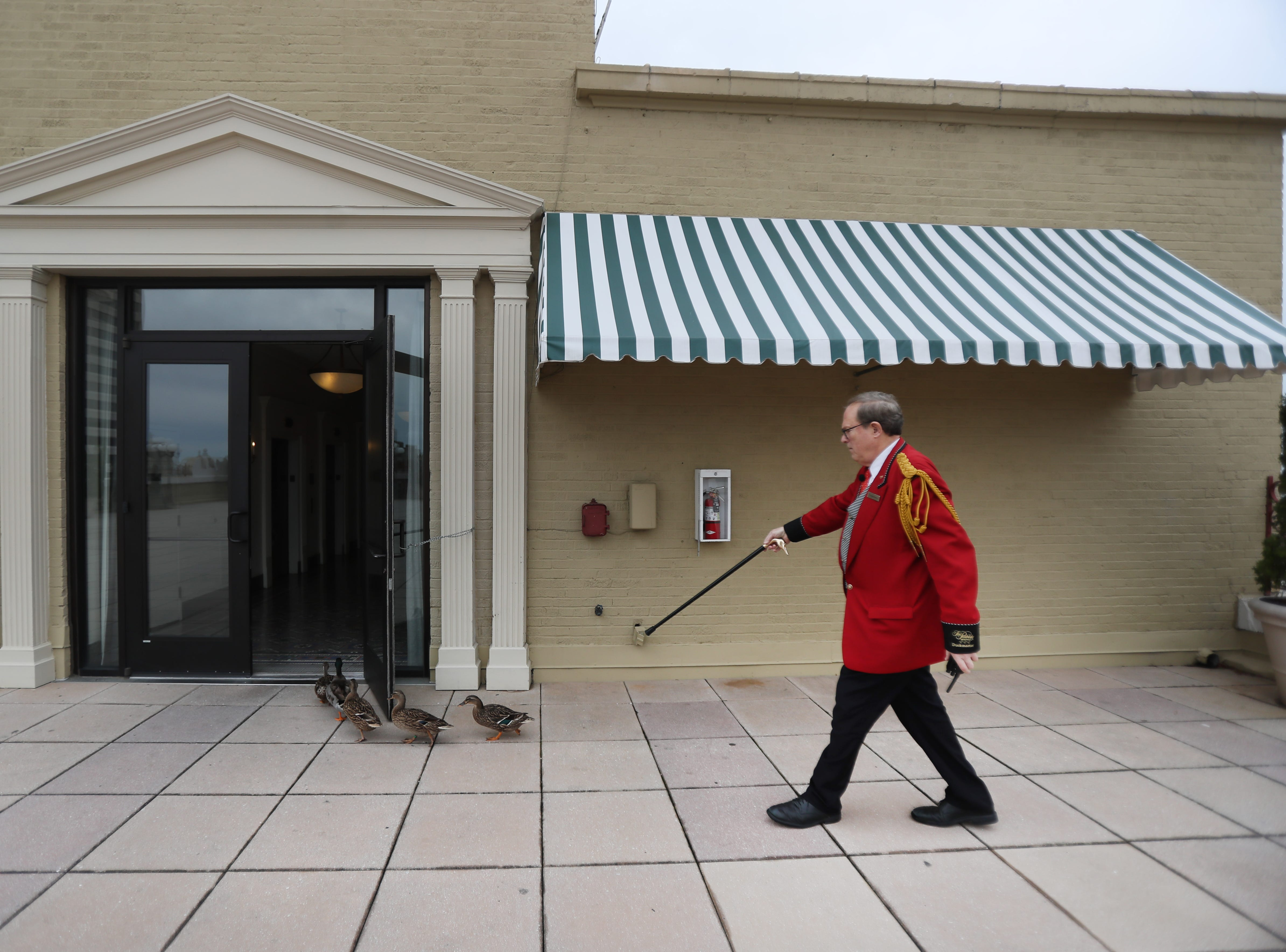 Doug Weatherford, Duckmaster at the Peabody Hotel leads his duck troop from the roof of the hotel to the main lobby at the iconic downtown Memphis building on Thursday, Feb. 21, 2019.