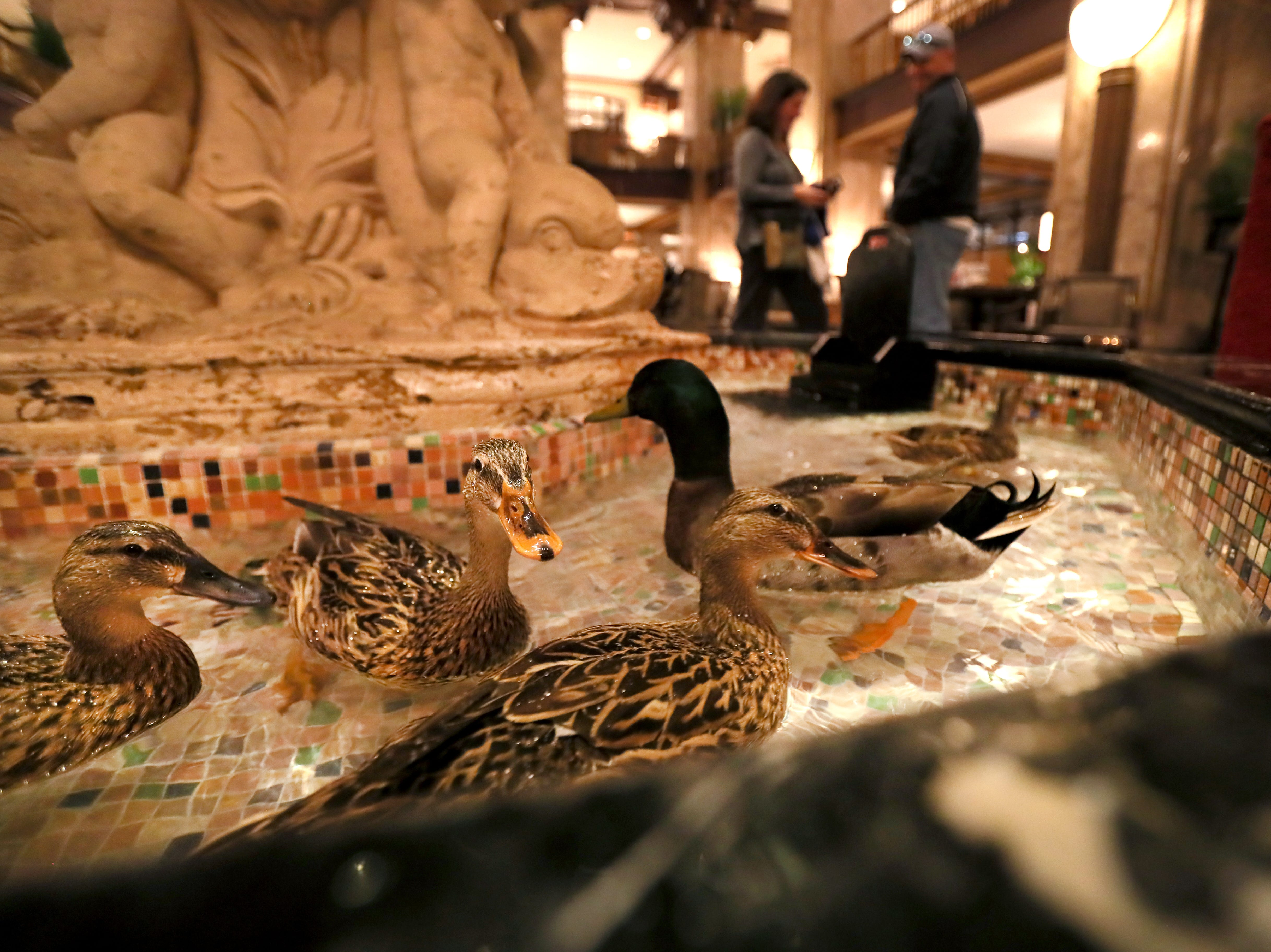 Ducks fill the fountain in the center of the lobby at the Peabody Hotel in downtown Memphis on Thursday, Feb. 21, 2019.