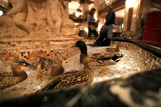 Ducks fill the fountain in the center of the lobby at the Peabody Hotel in downtown Memphis on Feb. 21.