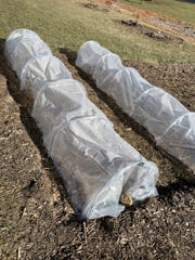 Covering vegetable plants during cold weather in the spring protects them from freezing or becoming damaged.