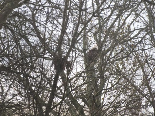 An American Bald Eagle has made itself at home in a neighborhood in Murfreesboro, Tenn. In this Feb. 21, 2019 photo, the bird perches in a tree.