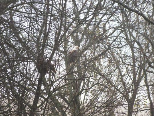 A Bald Eagle perches in a tree near Riverdale High School in Murfreesboro, Tenn. on Feb. 21, 2019.