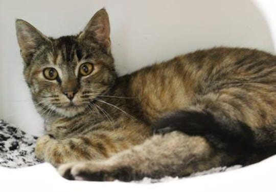 Elma is a spayed female, 6-month-old, Domestic Shorthair mix.