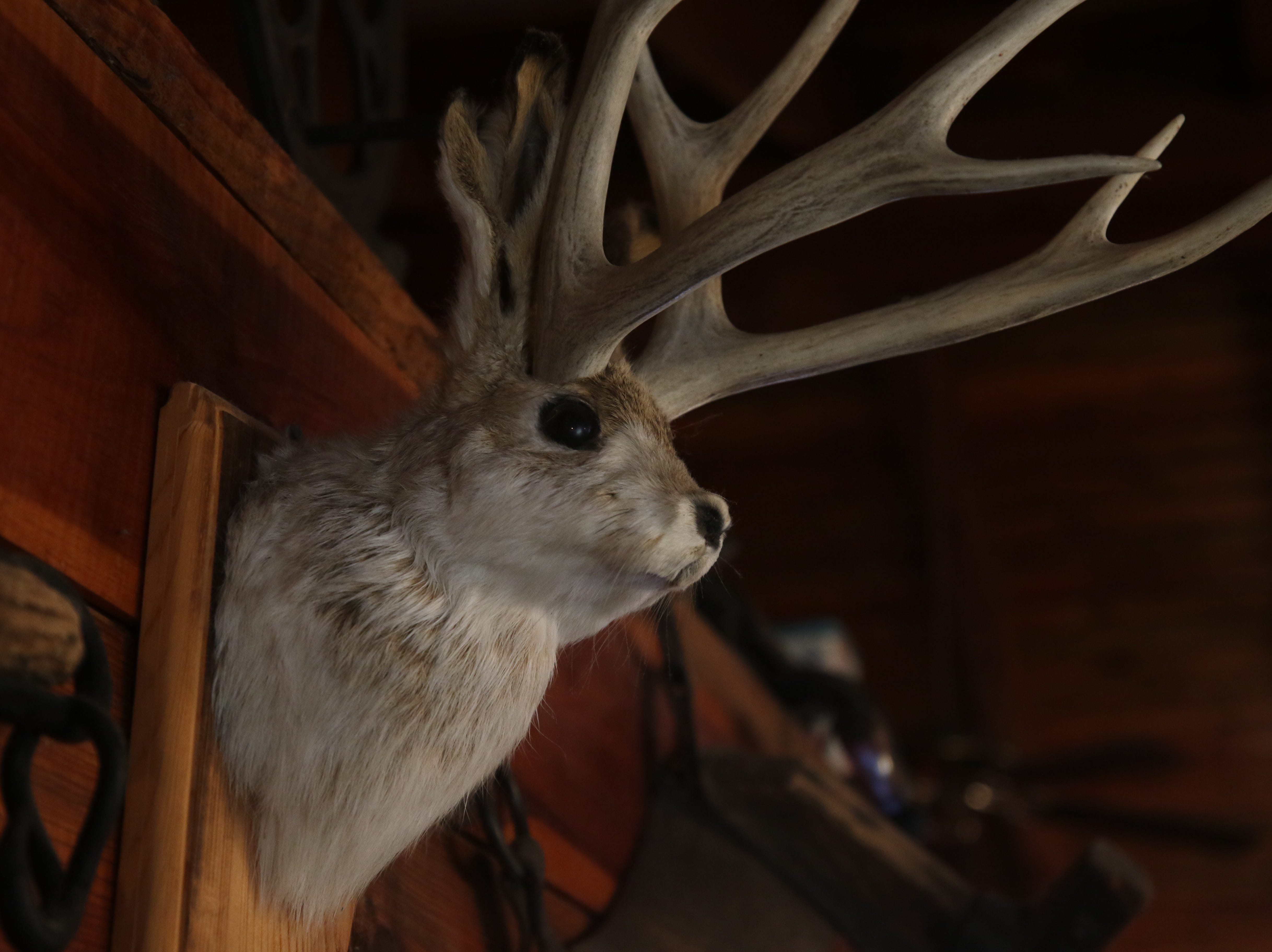 A jackalope mounted on the wall, Feb. 23 at Red Chimney Bar-B-Q.