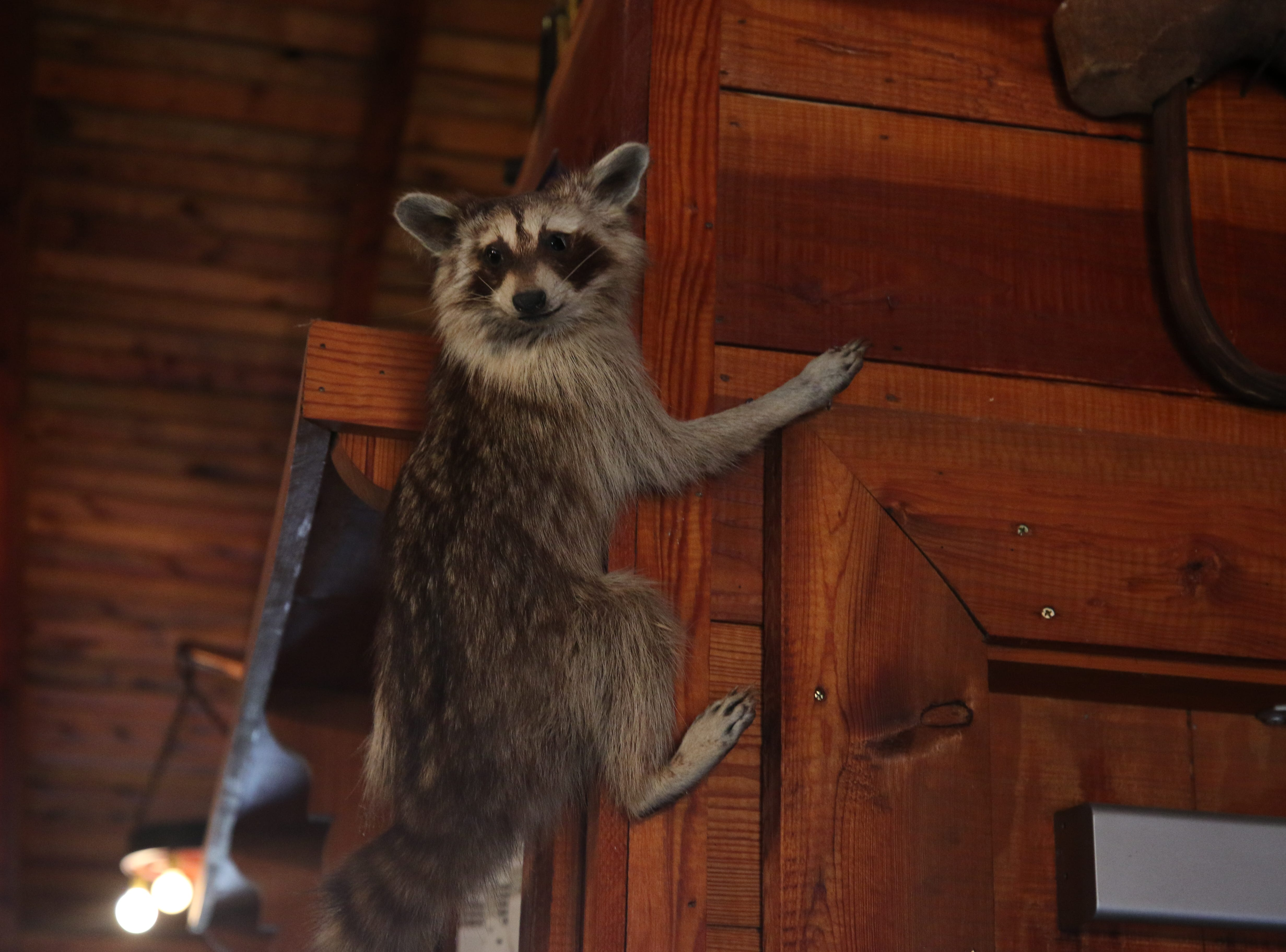 A stuffed raccoon hangs on the wall, Feb. 21 at Red Chimney Bar-B-Q in Carlsbad.