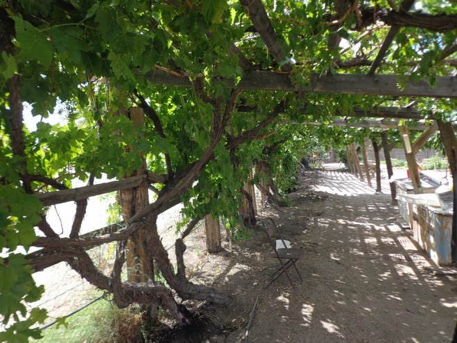 Discover how this arbor has the grapes on the east side protecting the roots from direct afternoon sun by training runners to the west.