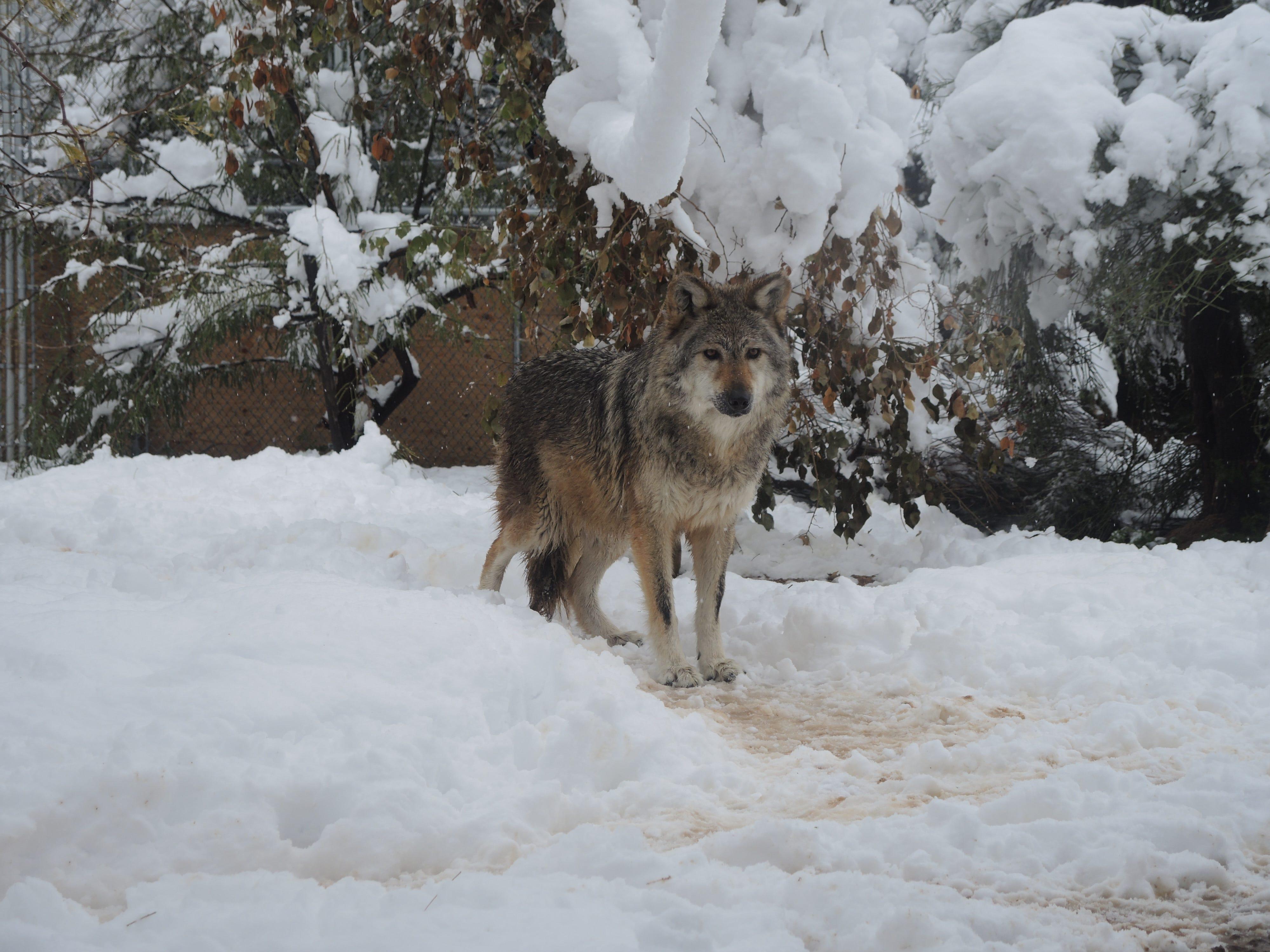 Wolf at Southwest Wildlife Conservation Center