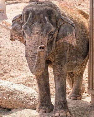 Asian female elephant, Indu