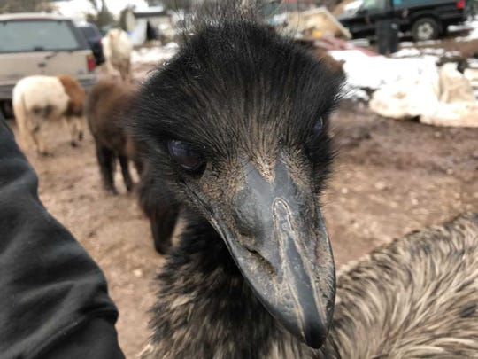 Cuzzy the emu stares down a visitor to The End of the Trail Farm.