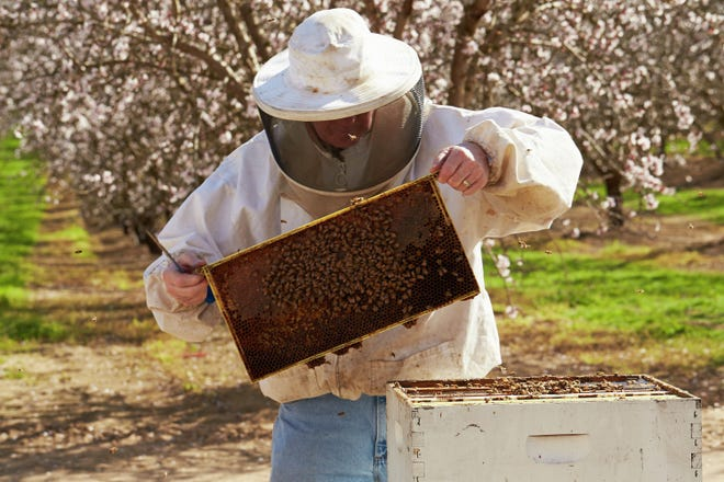 A beekeeper sets up a hive in an almond orchard. Almond growers rent bees to pollinate their trees when they bloom.