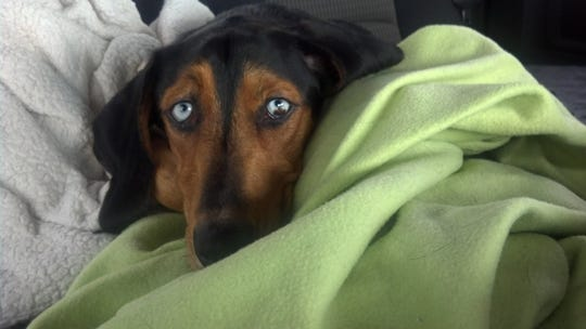 """Olive"" the dog died on the way from Shingletown to emergency veterinary services in Redding."