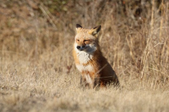 Foxes have inhabited  Ocean City and Assateague long before vacationers started to visit.