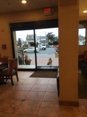 A fox caught standing outside the door of the Comfort Inn hotel on Ocean City Boardwalk.
