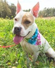 Jodi is a 6-year-old, 55-pound American bulldog mix.