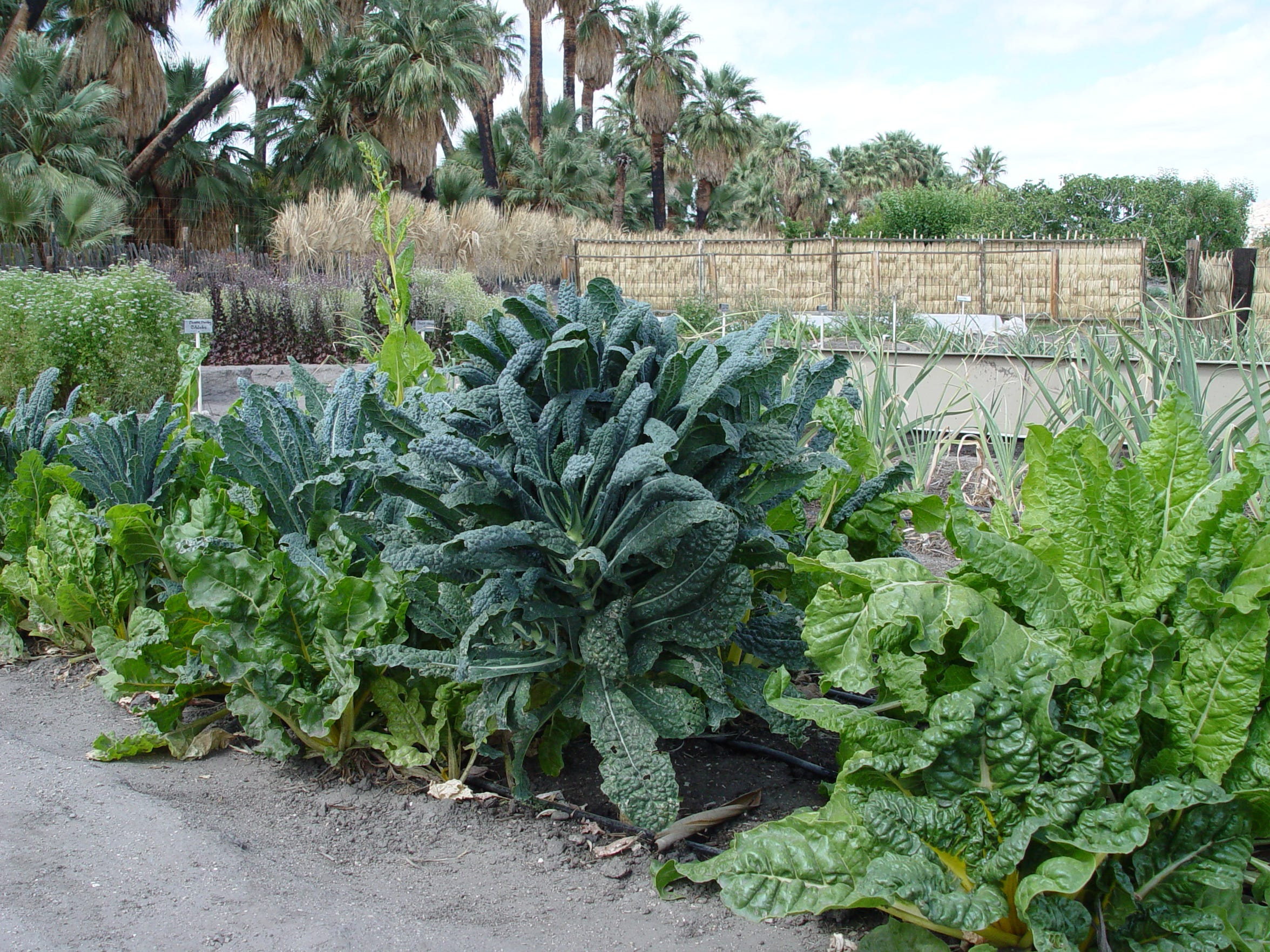 Chard and kale are the most long lived crops for winter gardens which remain sweeter in the cold.