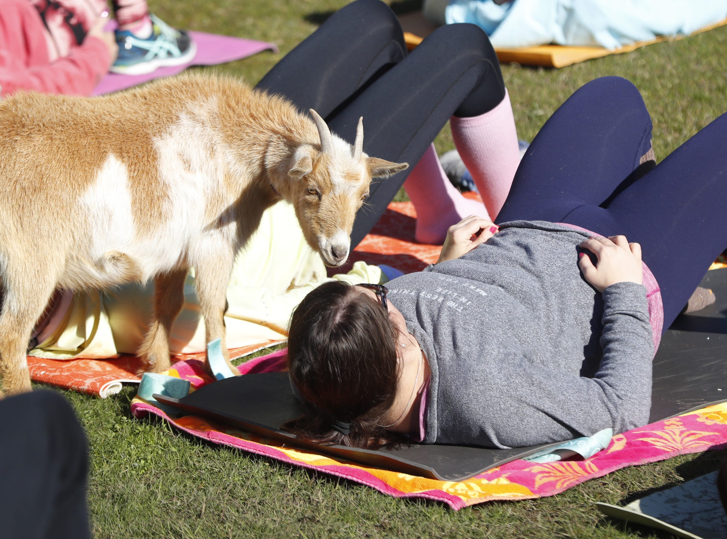 A goat inspects a person doing yoga during a Guinness World Record goat yoga attempt at the Mesa Amphitheatre in Mesa, Ariz. on Feb. 23, 2019.