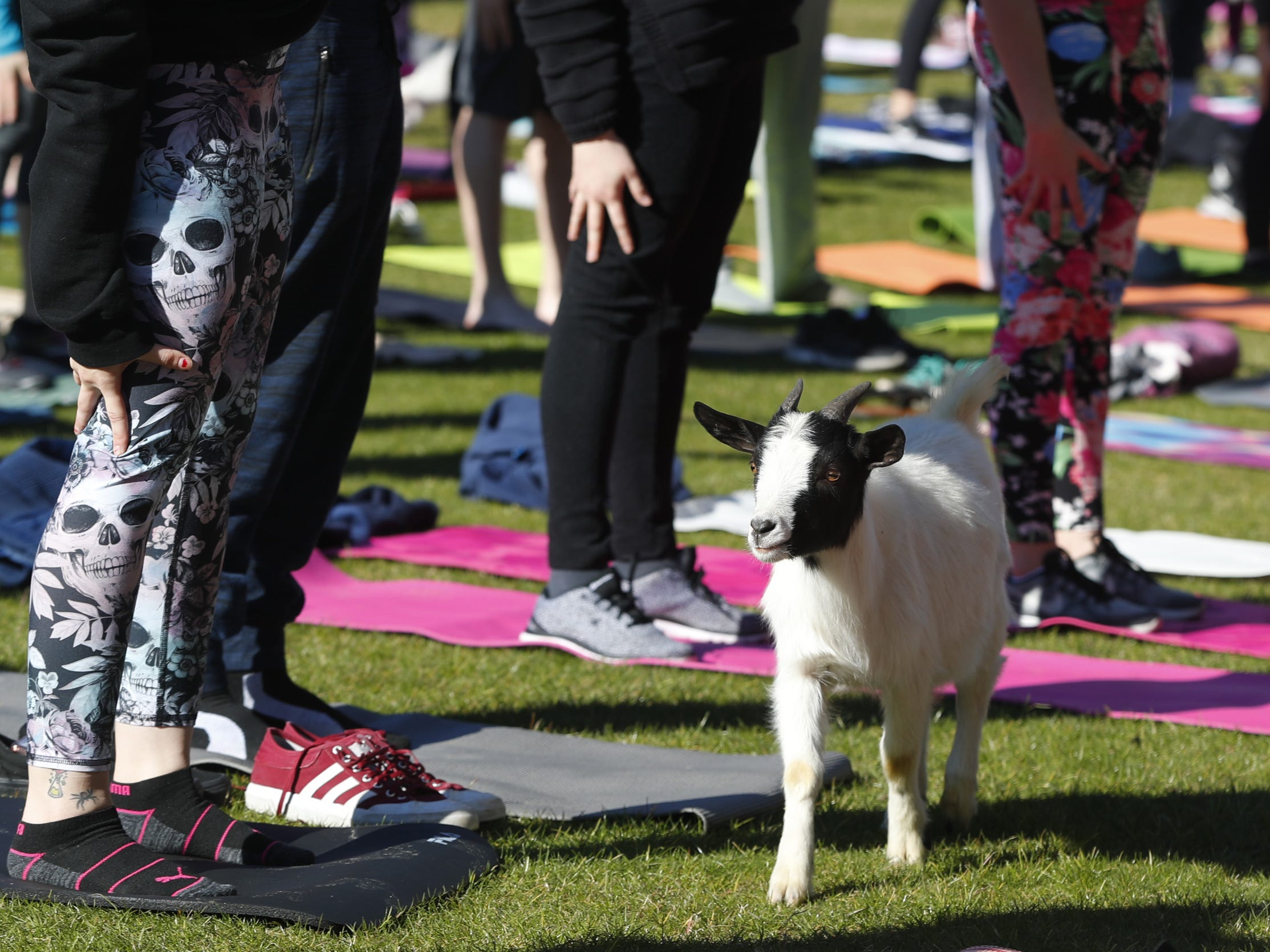 People perform yoga poses as goats make their way around during a Guinness World Record goat yoga attempt at the Mesa Amphitheatre in Mesa, Ariz. on Feb. 23, 2019.