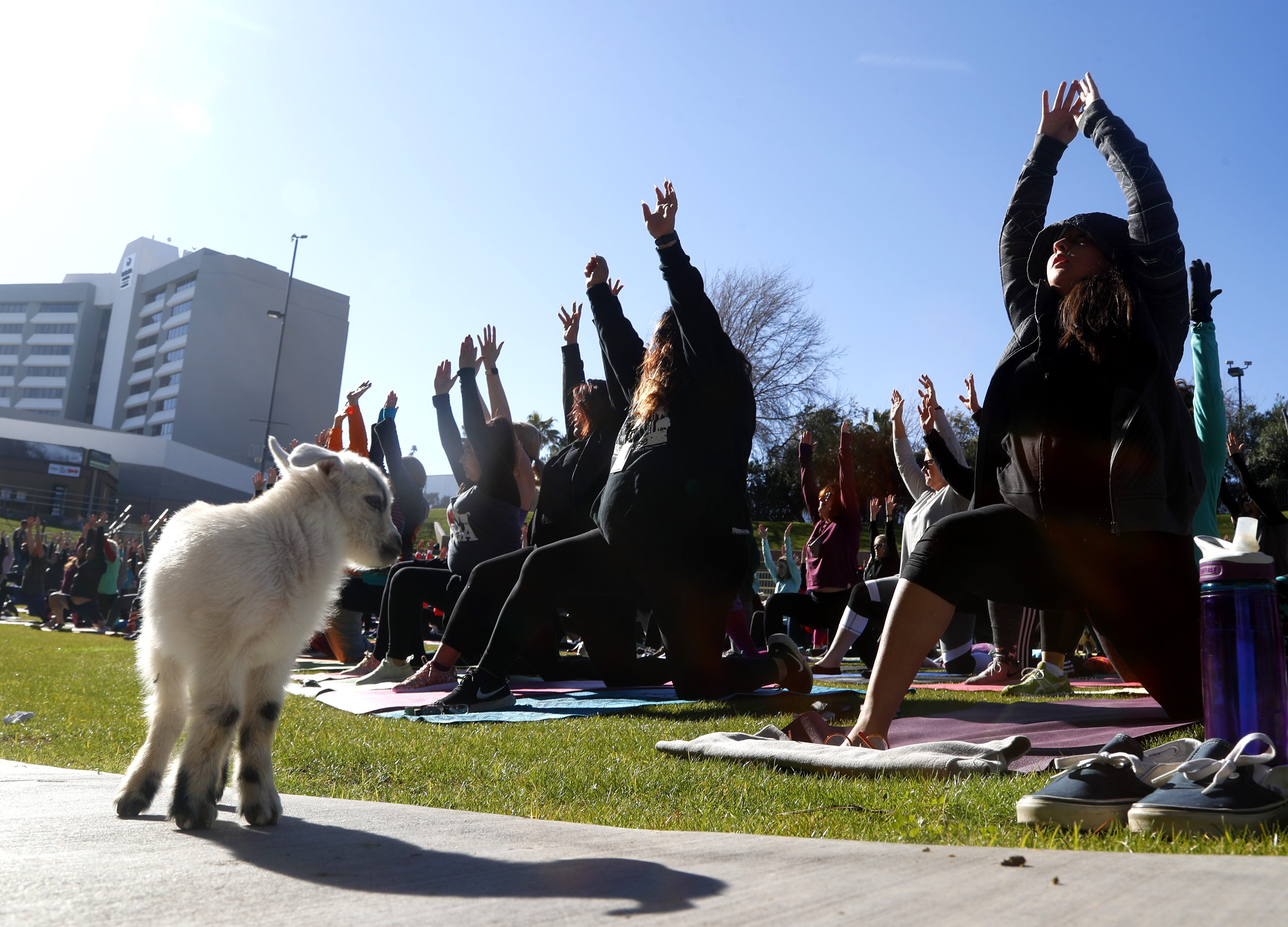 'B-a-a-maste': Hundreds gather to set goat yoga Guinness World Record in Mesa