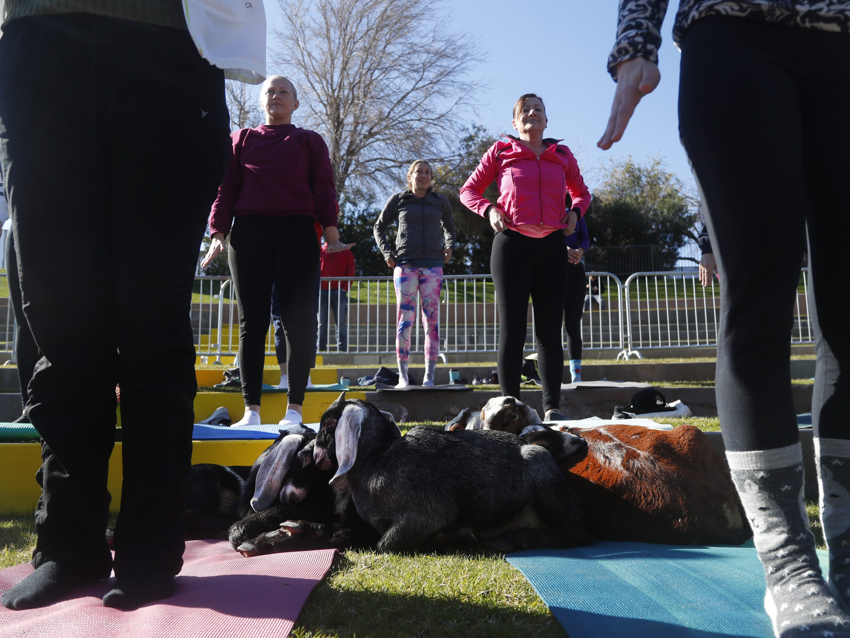 A group of tired goats find a place to rest during a Guinness World Record goat yoga attempt at the Mesa Amphitheatre in Mesa, Ariz. on Feb. 23, 2019.