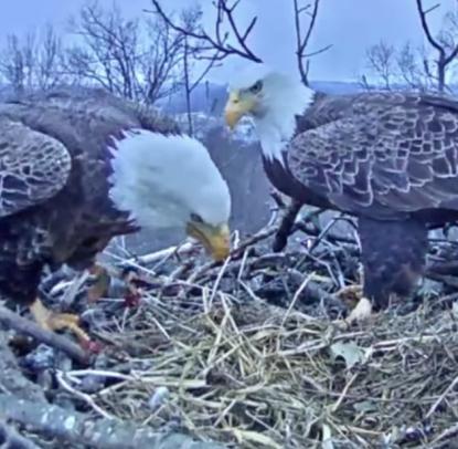 Footage shows Hanover eagle choking on fishing line, hook