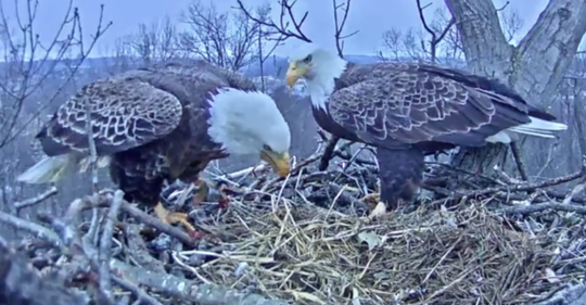 An eagle in a Hanover nest was stuck on a fishing line and hook, as seen in this footage of a live webcam hosted by HDOnTap (Photo courtesy of Kat Boynton via Youtube)