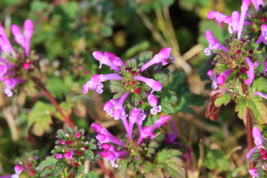 Henbit is said to be a bit peppery but sweet at the same time.