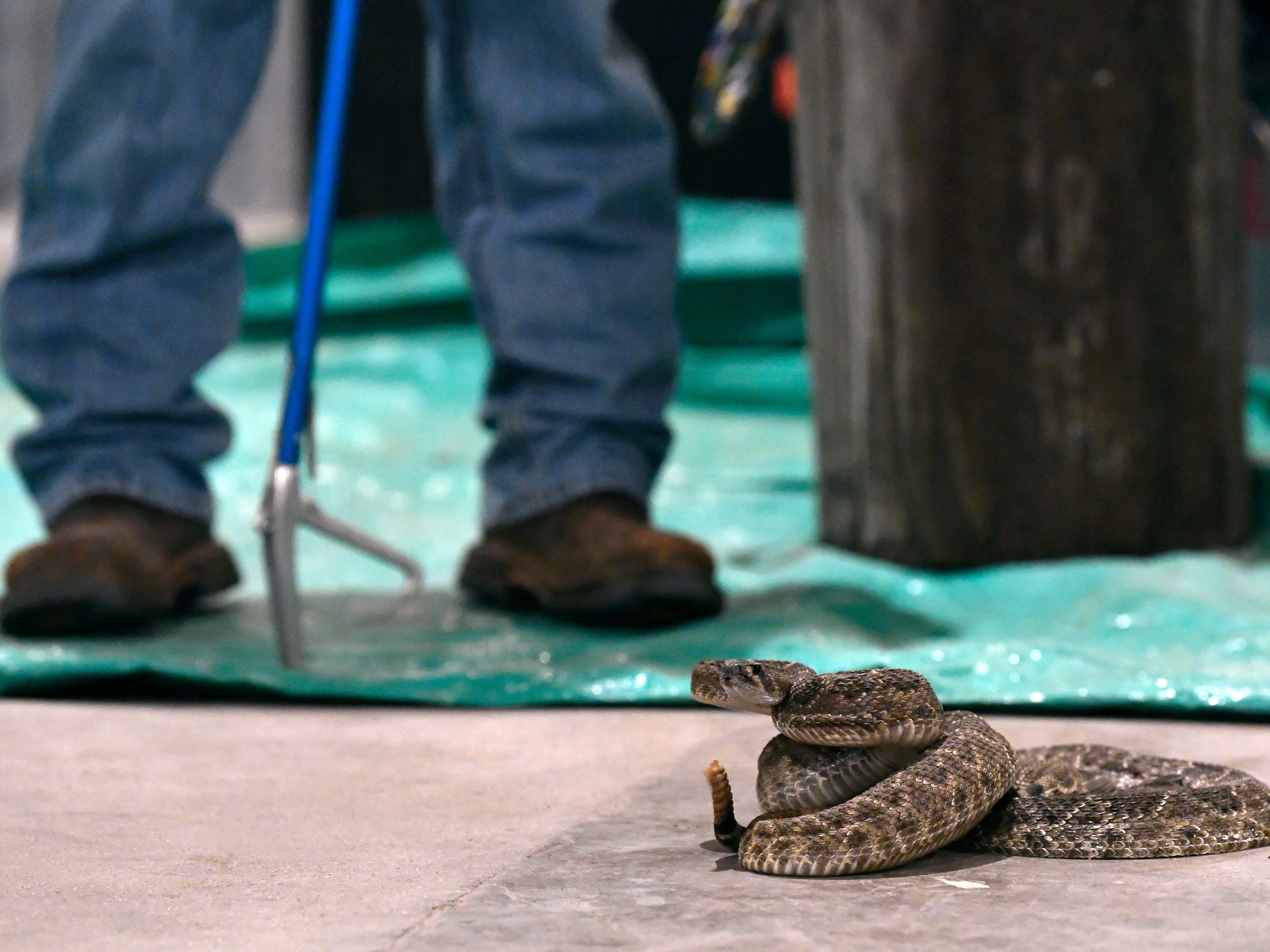 A western diamondback rattlesnake is curled on the floor of the Sweetwater Jaycee's Barn during Media Day Friday Feb. 22, 2019. Media Day introduces the Big Country to this year's Miss Snake Charmer contestants. The pageant will be March 7, followed by the World's Largest Rattlesnake Roundup March 8-10.