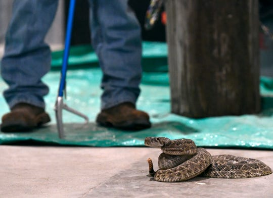 A snake at the 2019 Rattlesnake Roundup.