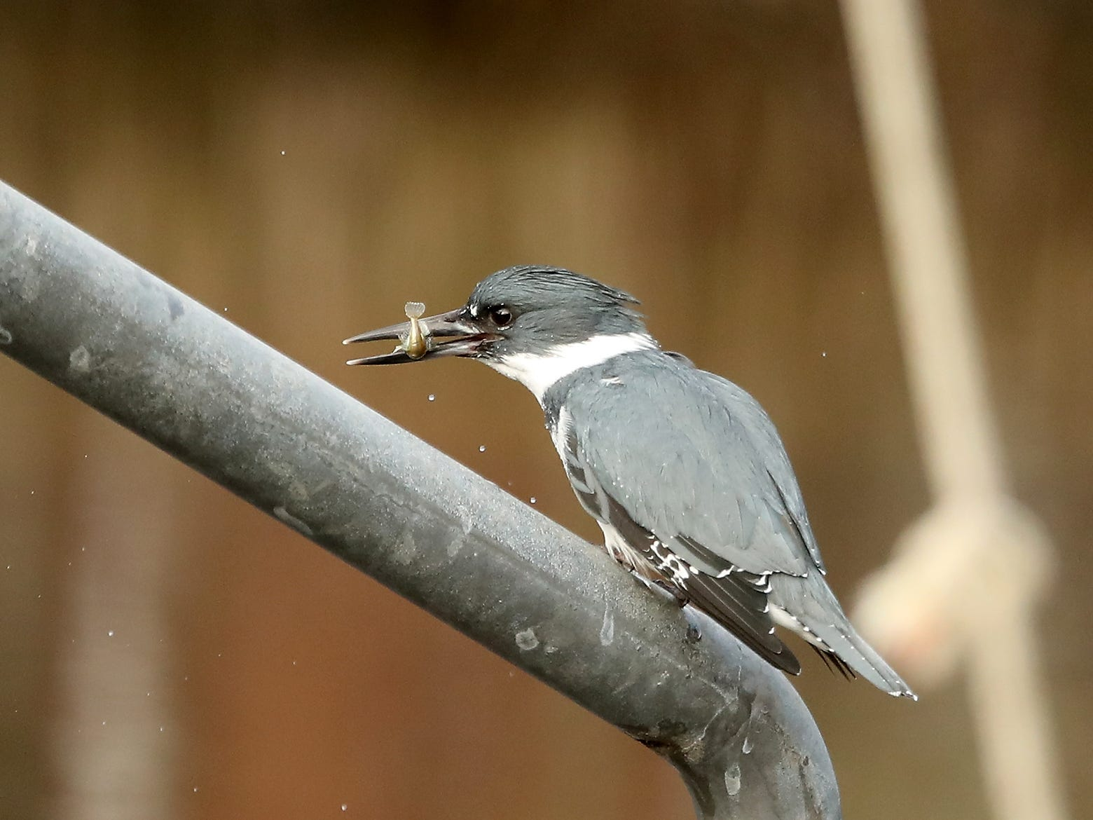 A belted kingfisher snacks on a small fish while perched on a railing along Point White Drive on Bainbridge Island on Sunday, February 24, 2019.