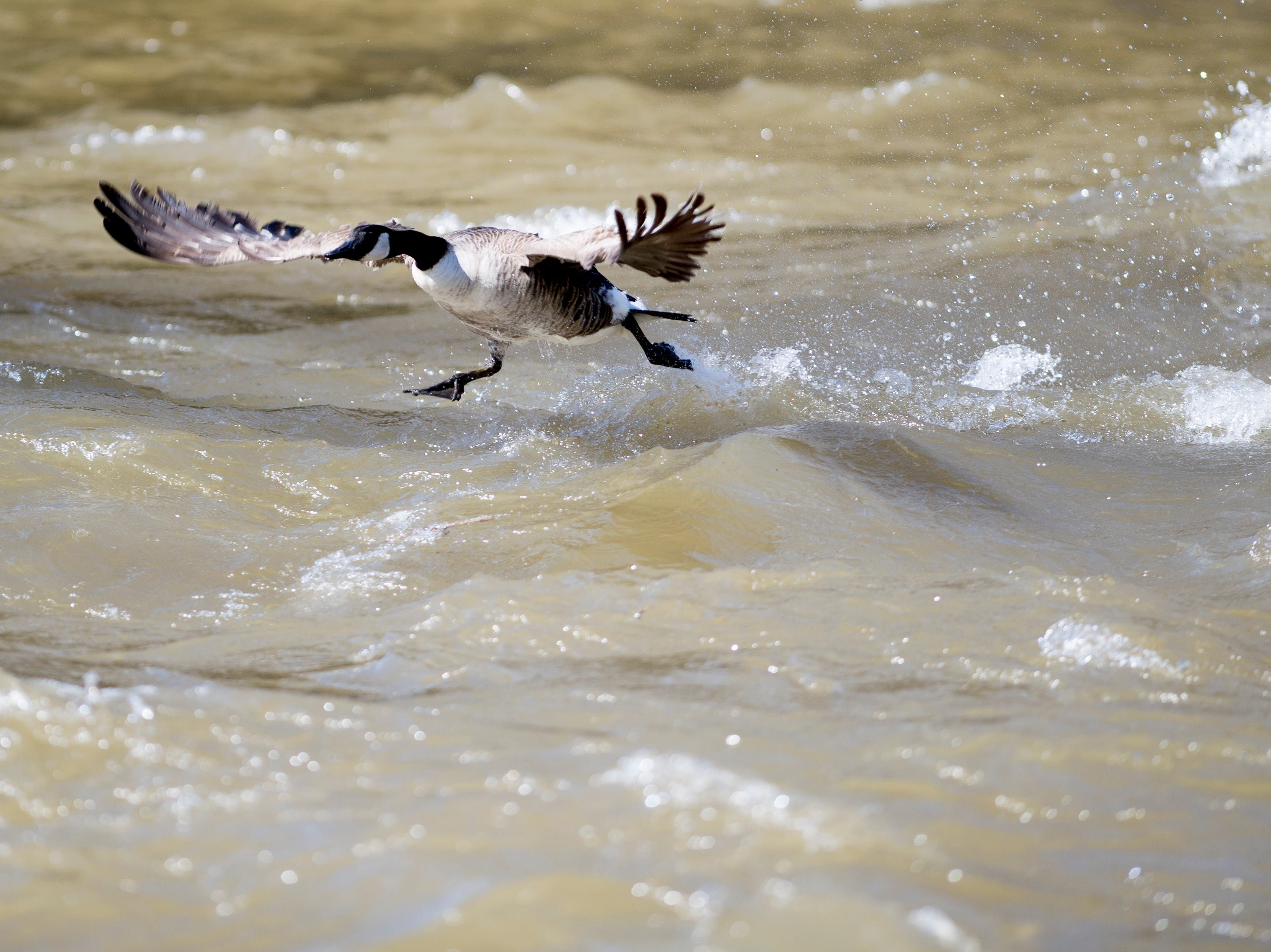 A goose tries to beat a swift current along the West Prong Little Pigeon River in Pigeon Forge, Tennessee on Sunday, February 24, 2019.