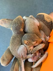 Three baby squirrels sit asleep after being rescued from a tree that fell at a West Knoxville church on Sunday, Feb. 24, 2019.