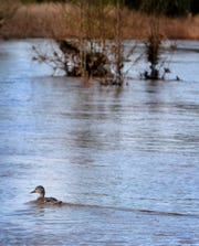 A duck swims on a section of the Greenway Trail that has flooded on South Molloy Lane in Murfreesboro on Sunday, Feb. 24, 2019.