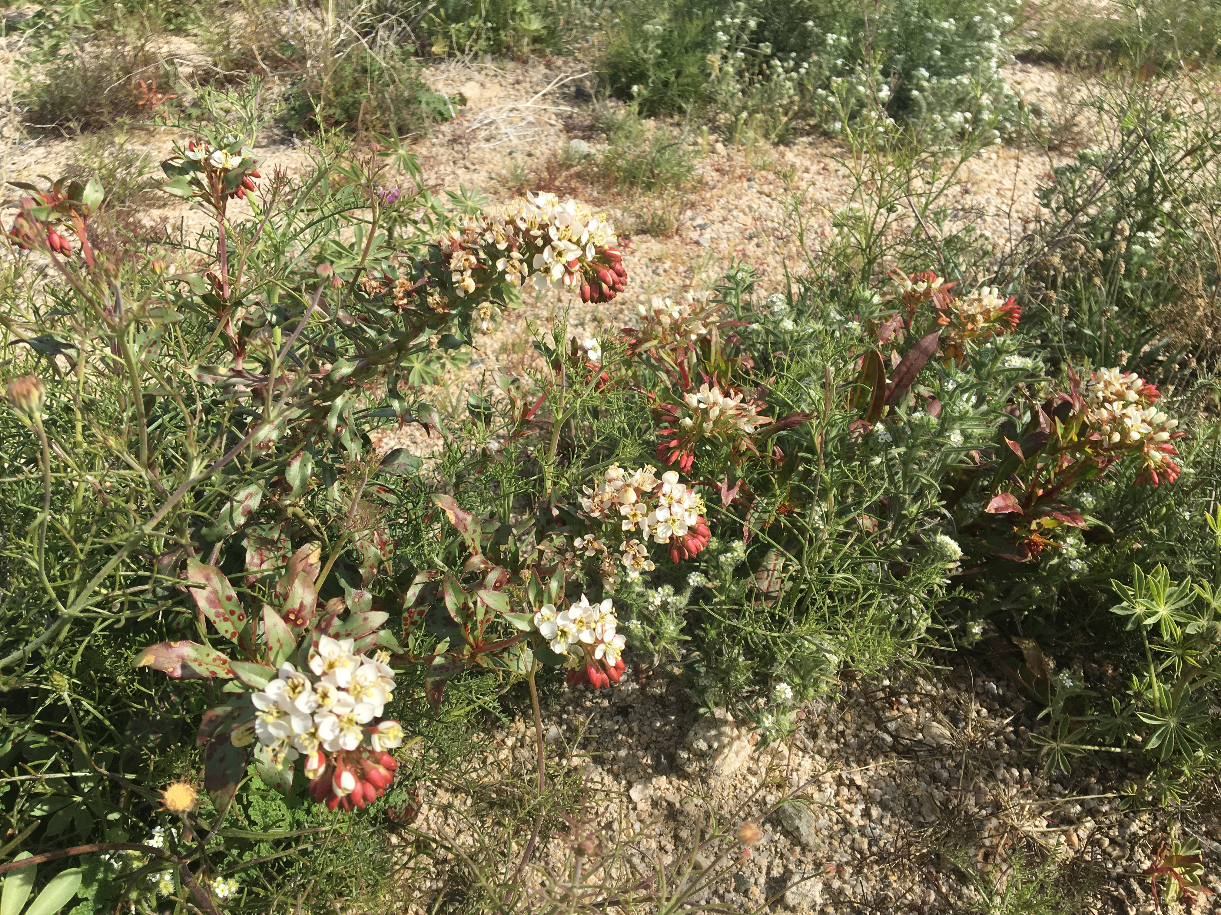 Wildflowers are blooming across the desert thanks to recent rainstorms. These flowers are south of Interstate 10 at Cottonwood Springs Road, east of Cactus City.