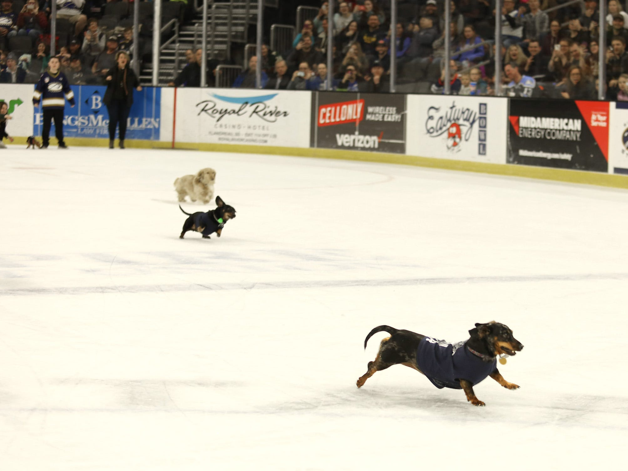 Dachshunds head for the finish line during a heat race Saturday of the 12th annual Wiener Dog Races, Feb 23, 2019. The races took place in front of a sold out crowd during intermission as the Stampede took on the Omaha Lancers at the Denny Sanford Premier Center.