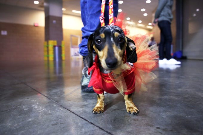 2019 Wiener Dog Races Dachshunds Compete At Sioux Falls