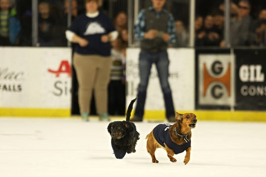 Bear races toward the finish line during the championship round of the 12th annual Wiener Dog Races, Feb 23, 2019. He earned 4th place because his front paw got stuck inside of his jersey.
