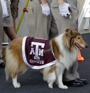 Texas A&M mascot Reveille VIII might be on the field against Texas if momentum for resume the rivalry increases.