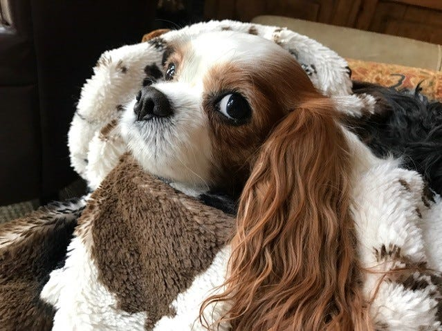 Remy is a Cavalier King Charles Spaniel.