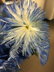 This blue spider mum was dropped by varsity cheerleaders at the base of a photo of 13-year-old Lilliana Schalck during a community grieving service Feb. 24 at Highlands Middle School gym in Fort Thomas.