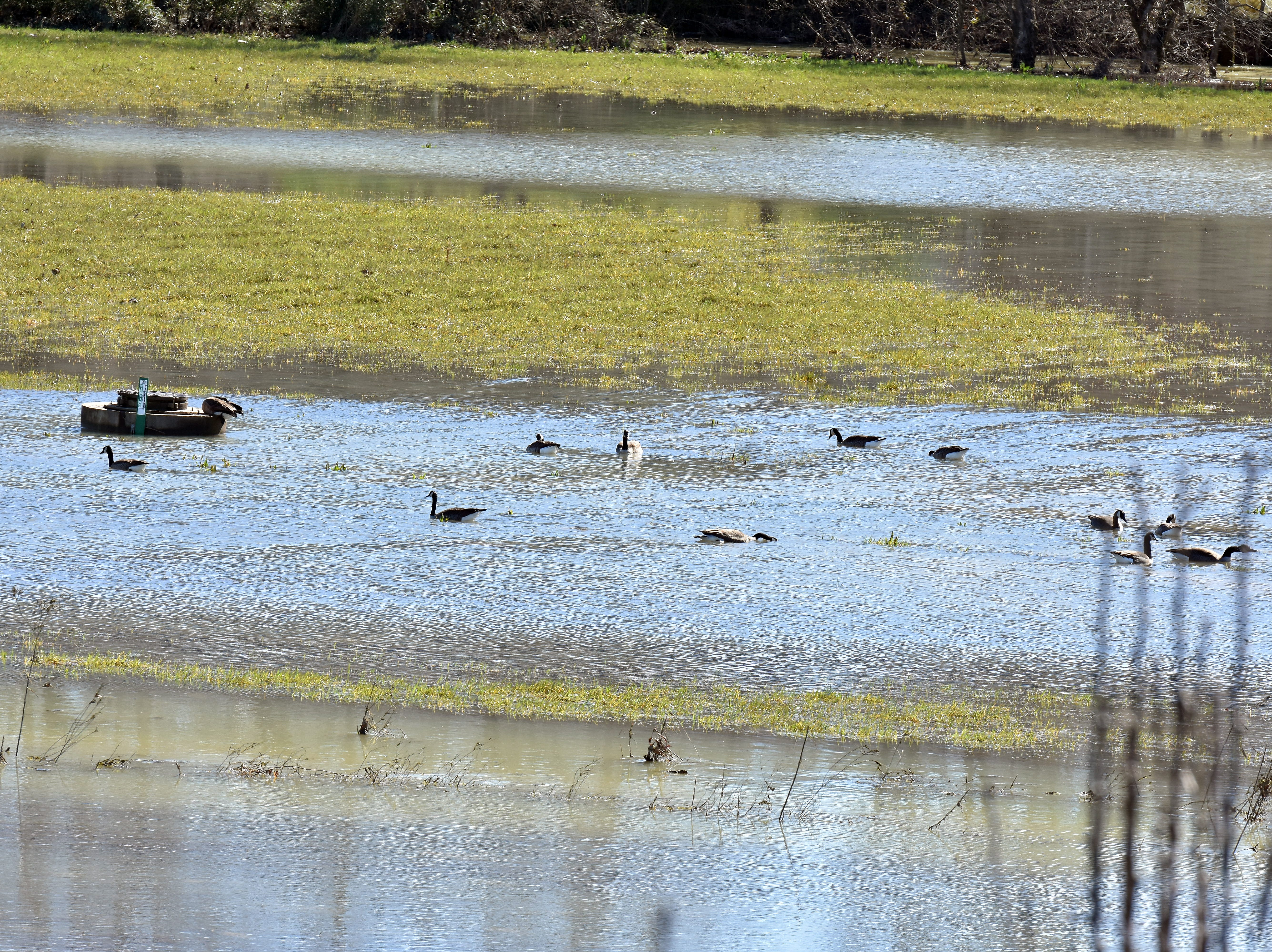 The land next to Brickey-McCloud Elementary is beginning to reappear as water recedes. These geese are enjoying the flood waters while they last.