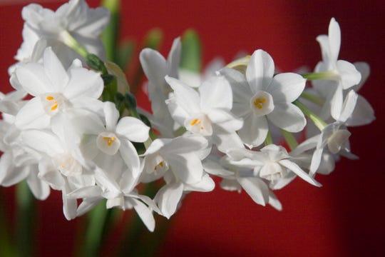 Paperwhites Narcissus