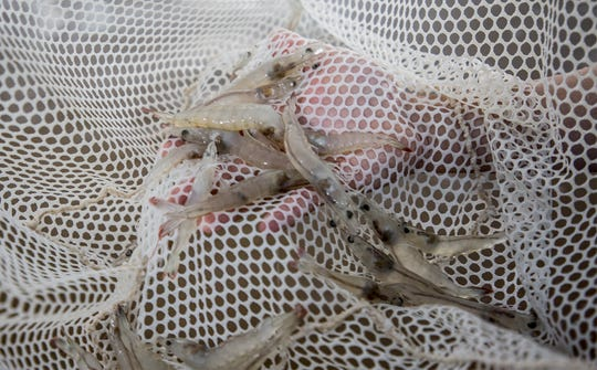 "Shrimp raised by Ashtyn R. Chen, at, ""The Ocean's Friend Aquaculture, LLC"" operation in Pataskala."
