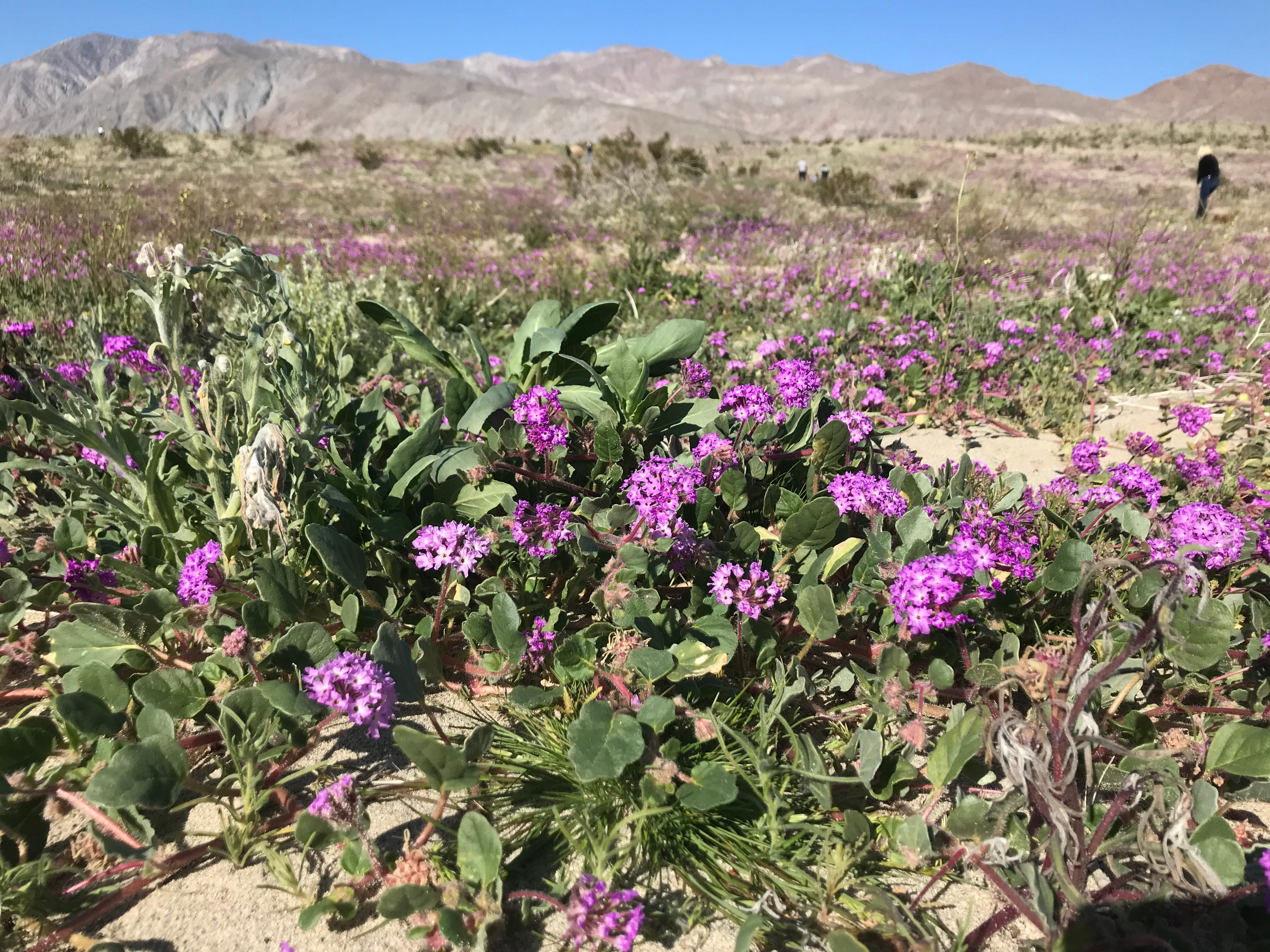 Wildflowers along San Diego County Highway S-22, near mile marker 31
