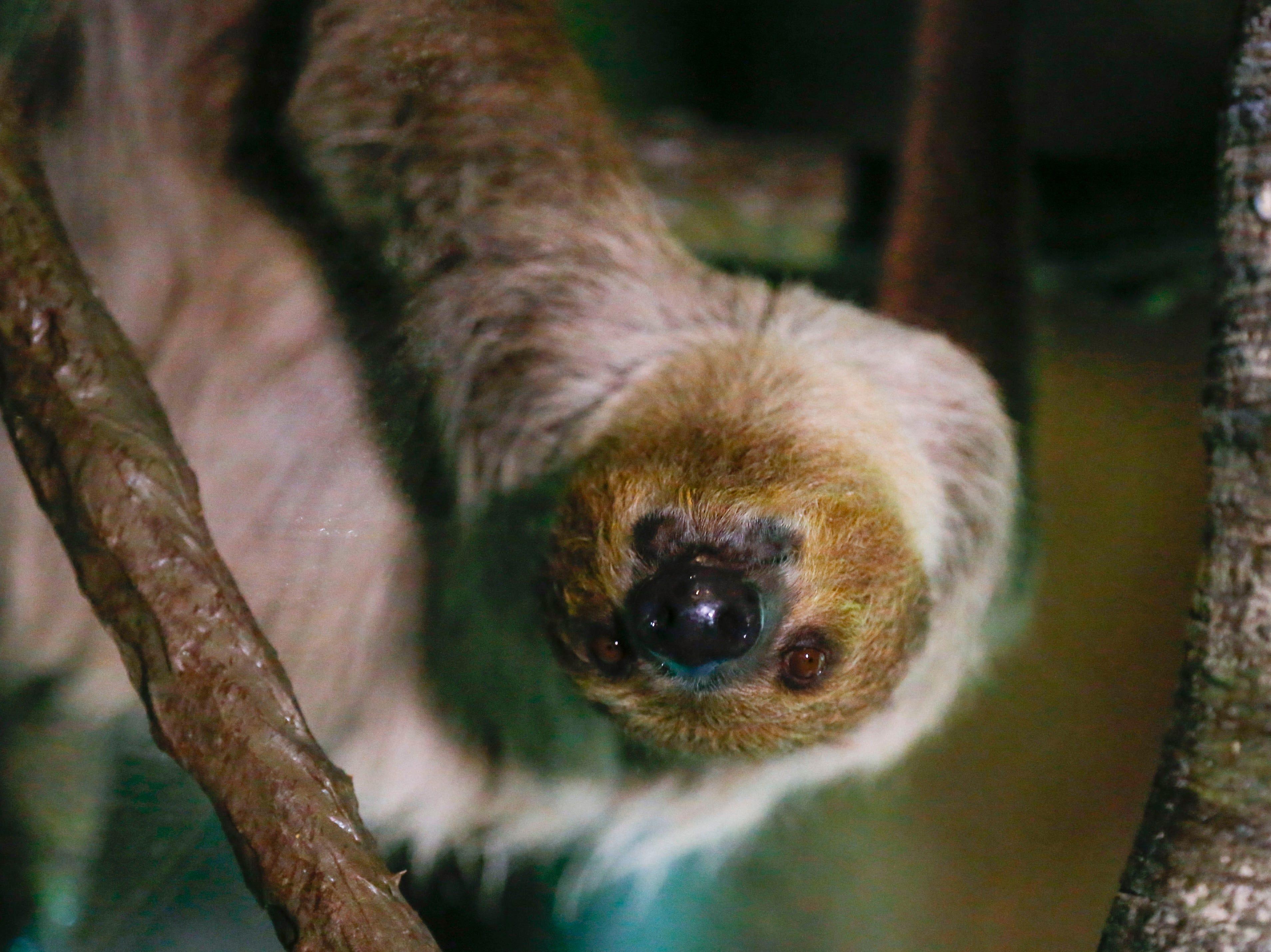 Wonders of Wildlife announced the addition of a Linnaeus's two-toed sloth on Monday, Feb. 25, 2019.