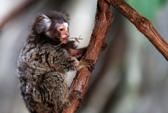 Wonders of Wildlife announced the addition of common marmosets on Monday, Feb. 25, 2019.