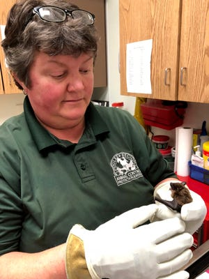 Kathy KasaKaitas, animal control supervisor at the Coulee Region Humane Society in Onalaska, Wis., inspects one of the new bats that came in to the facility last week.