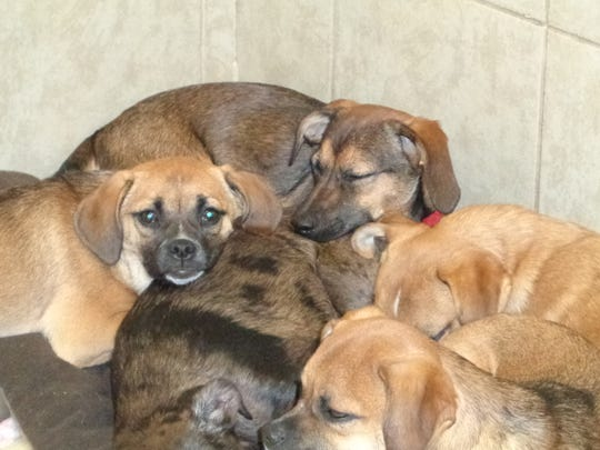 A pile of puppies cuddles together for a nap inside Every Dog's Dream Rescue Inc. at Petco.