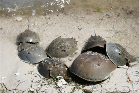 Florida Wildlife officials want residents to report horseshoe crab sightings